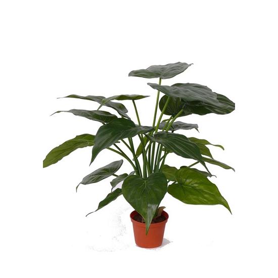 Alocasia olifantsoren kamerplanten