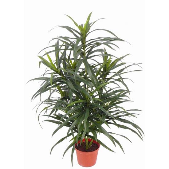 Binnen plant dracaena reflexa Anita 73 cm