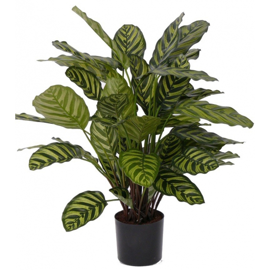 Kamerplant Calathea Makoyana 67 cm