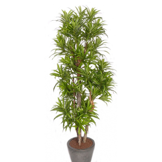 Nep plant dracena reflexa 120 cm