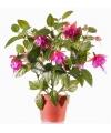 Fuchsia plant donkerroze in pot 30 cm