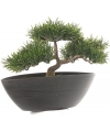 Kunst bonsai boom japans 26 cm