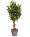 Oleander struik 130 cm met 840 bladeren