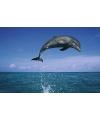 Poster dolfijn 61 x 91 5 cm
