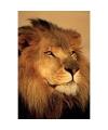 Poster leeuw 61 x 91 cm