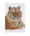 Poster siberische tijger 61 x 91 cm
