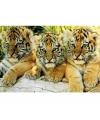 Poster tijger welpjes 61 x 91 cm
