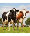 Servetten koeien print 3 laags 20 stuks