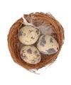 Nestje met kwarteleitjes 7 cm